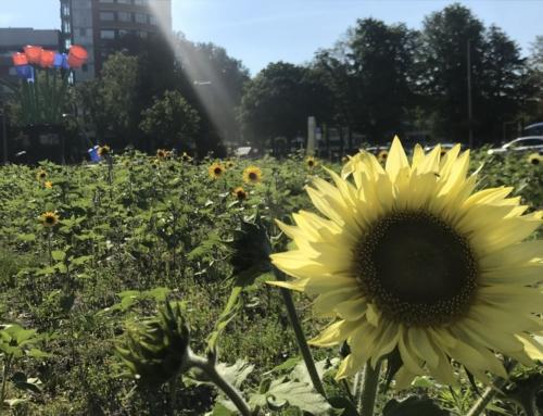 Zonnebloemenveld Papsouwselaan