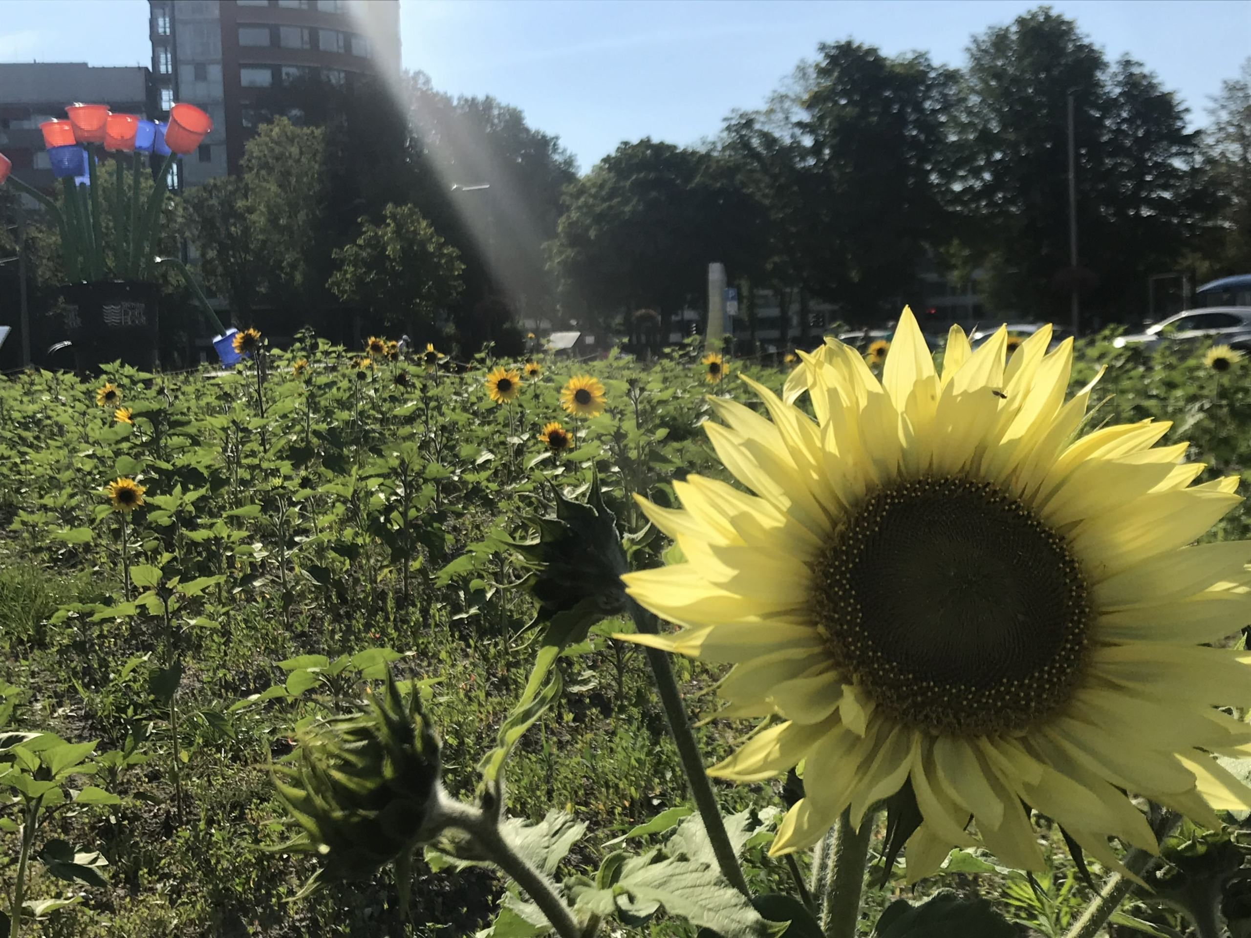 zonnebloemenbeld in Nieuw Delft