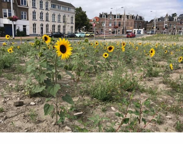 Foto van het zonnebloemen veld