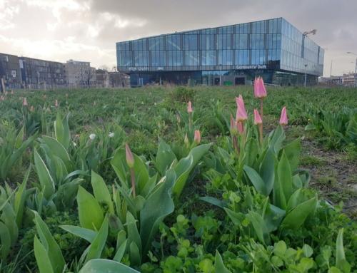 Opnieuw een tulpenveld in Nieuw Delft