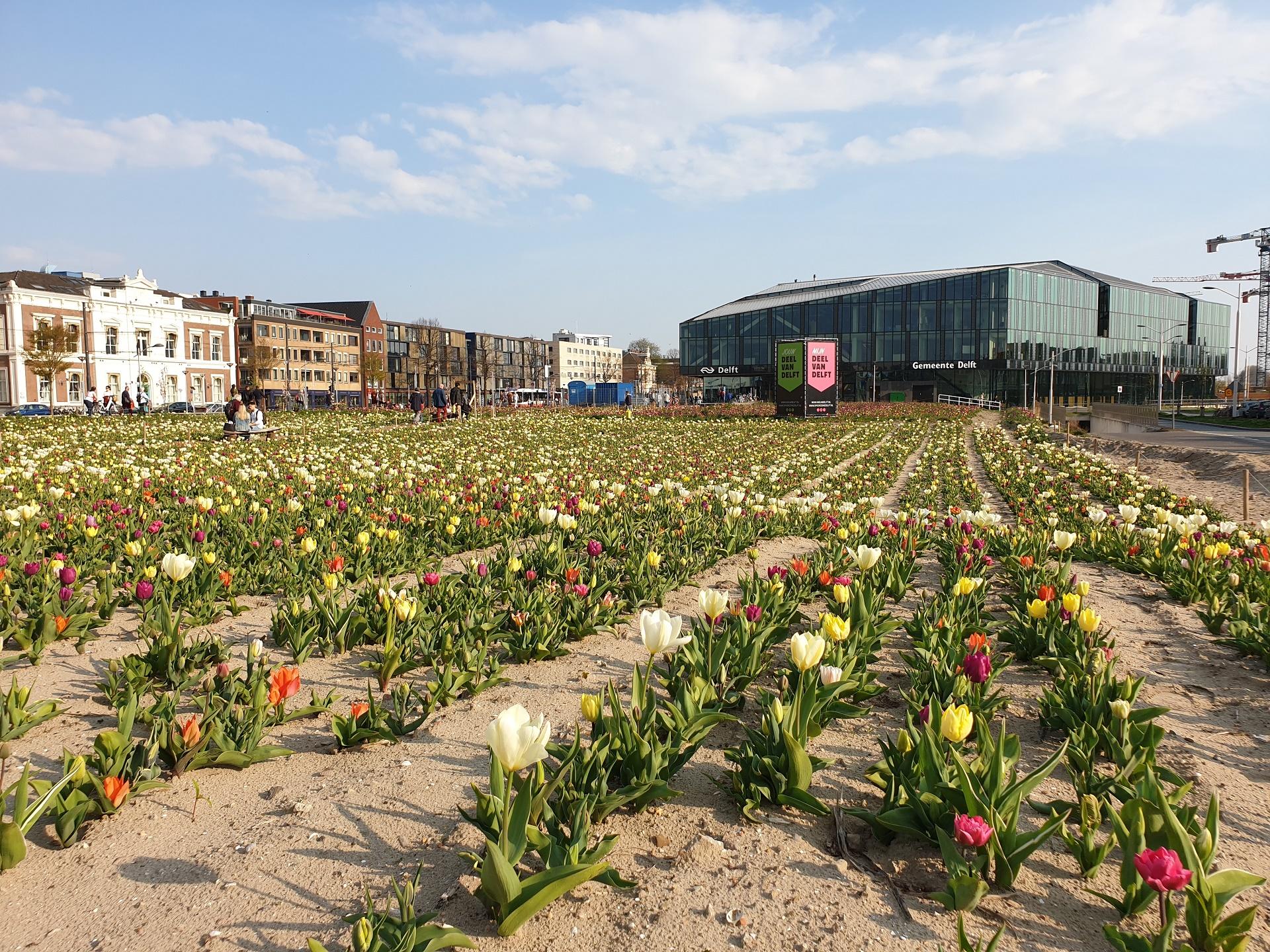 Tulpenveld in Nieuw Delft
